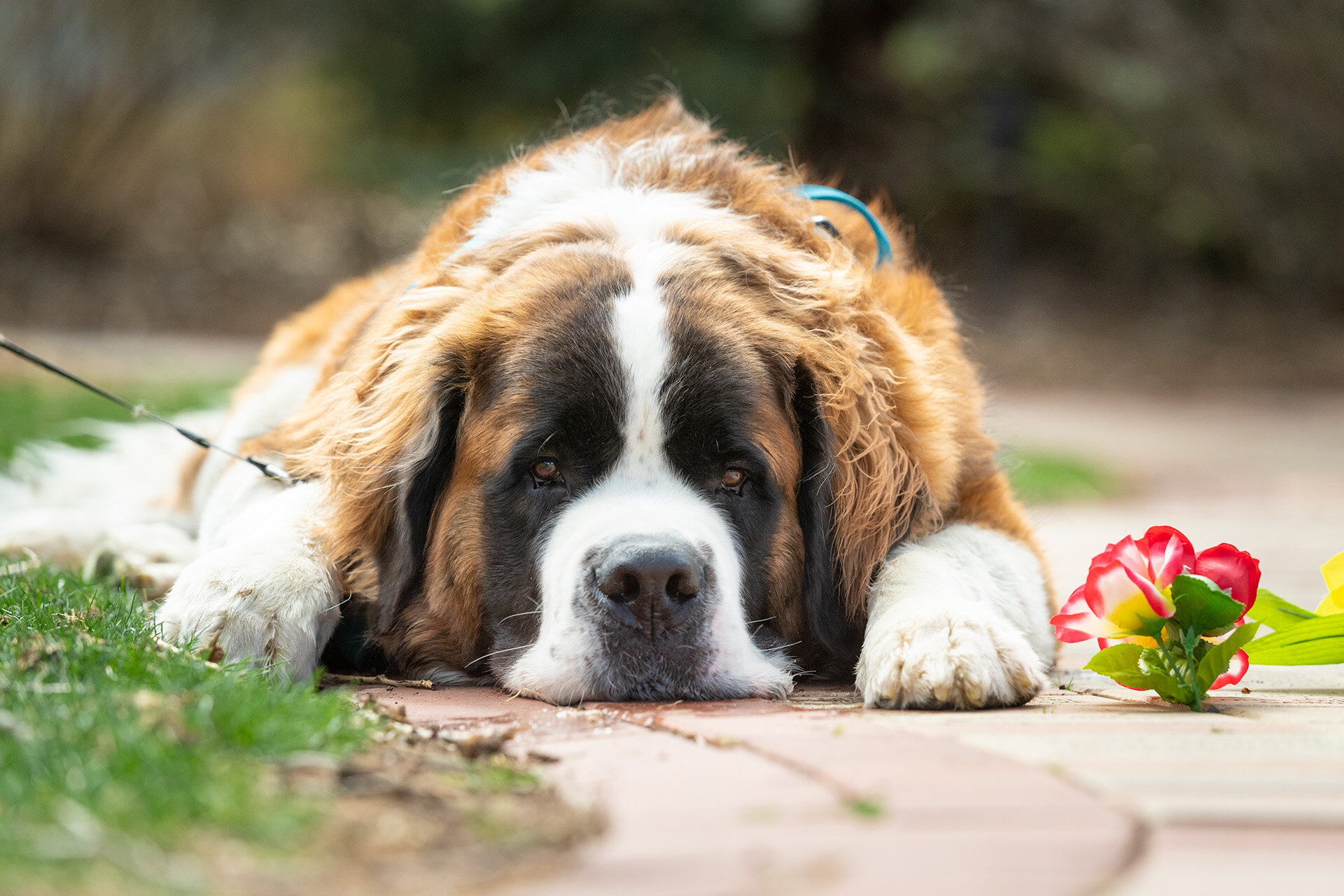 A tangled web: Teasing out the results of CBD on canine seizures